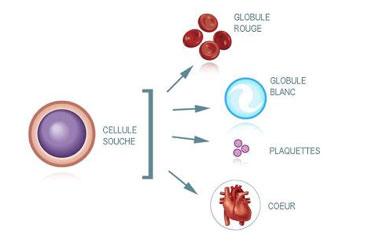 Schéma cellule souche